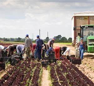 Low paid migrants harvesting in the UK.